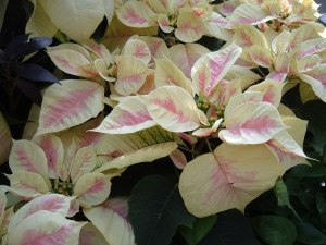 botanic christmas 2011 057