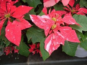 botanic christmas 2011 092