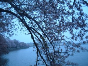 cherry blossoms 2012 229