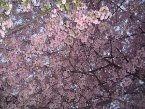 cherry blossoms 2012 263-1