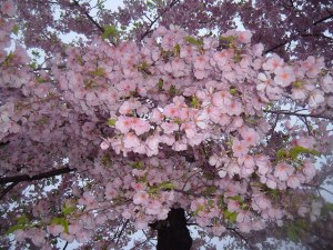 cherry blossoms 2012 302-1