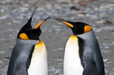 A part of the King penguin courting rituals - also note the tong