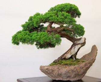 bonsai-7-505x411