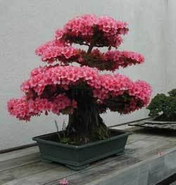 bonsai_3_l1