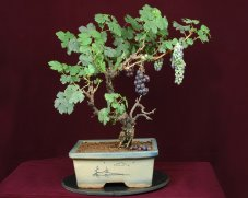 grape-bonsai-tree