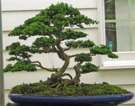 japanese-bonsai-tree